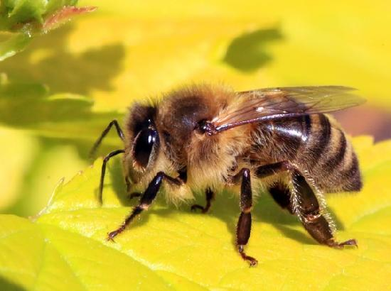 Maternal instincts lead to social life of bees: Study