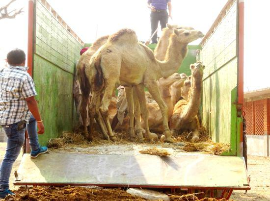 Ordeal of 49 camels ends, Patna HC orders release on plea of Dhyan Foundation
