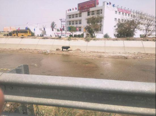 Dhyan Foundation volunteers save a cow out of canal in Ludhiana