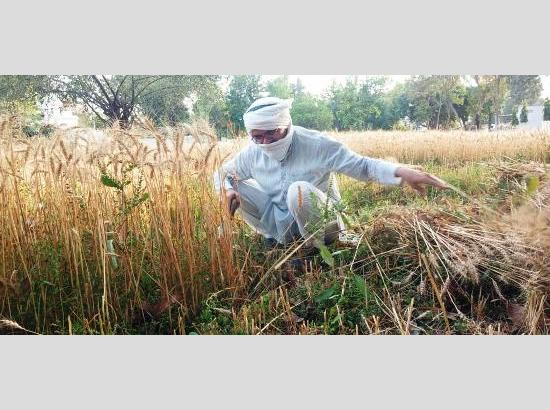 Sangrur DC motivates youth to stay connected to roots by milking cows, harvesting wheat