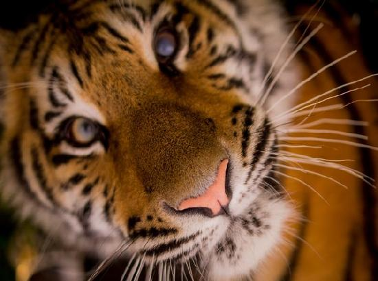 Tiger in US zoo tests positive for coronavirus