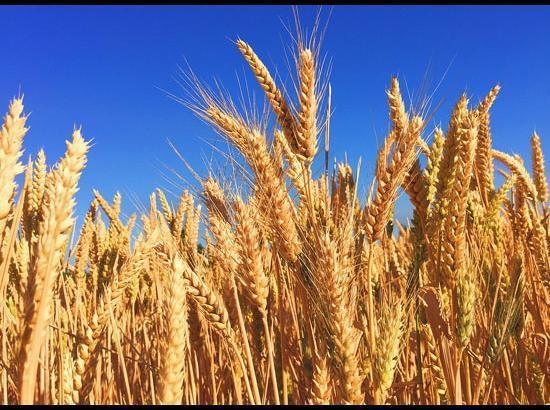 Modi Govt hikes MSP by Rs 50 per quintal for wheat