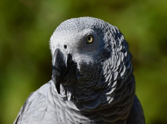 African grey parrots go out of their way to help others