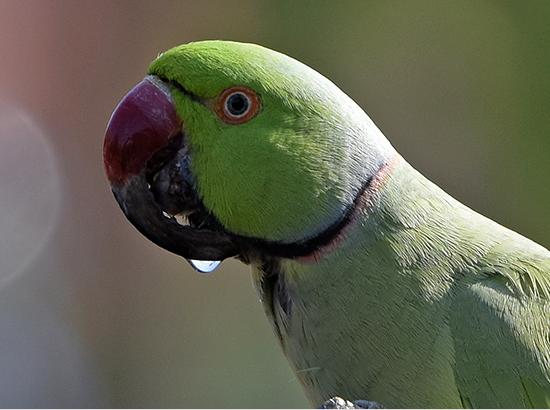Beak Deformities In Birds...  by Kulbhushan Kanwar on World Parrot Day